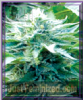 Emerald Triangle Trinity Kush Feminised 5 Seeds